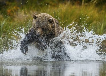 grizzly bear action!